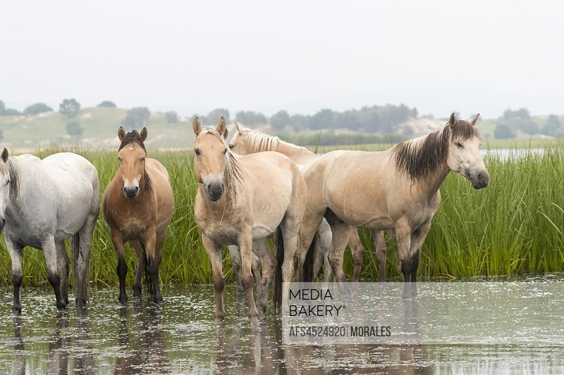China, Inner Mongolia, Hebei Province, Zhangjiakou, Bashang Grassland, horses in a group in the water.