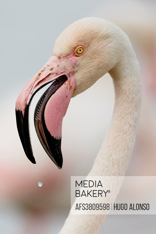 Headshot of Greater flamingo. Phoenicopterus roseus.