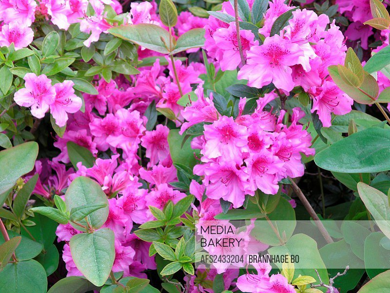 Azalea, shrub, detail, flowers, purple