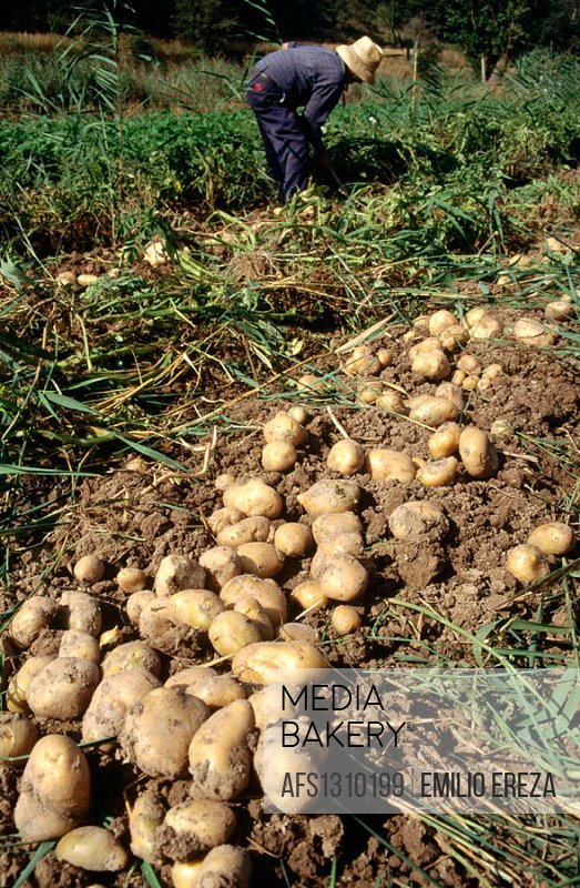 Potato cultivation