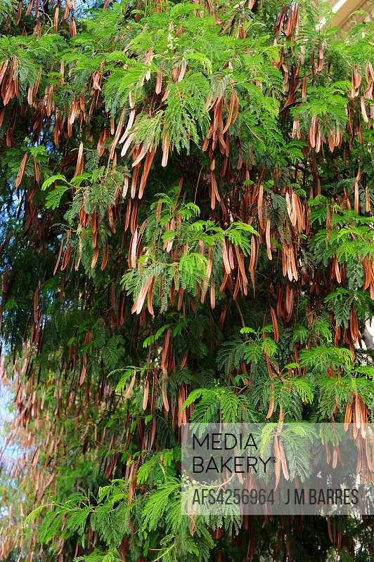 White siris or tall albizia (Albizia procera) is an ornamental tree native to southern Asia. Fruits (legumes) and leaves detail.