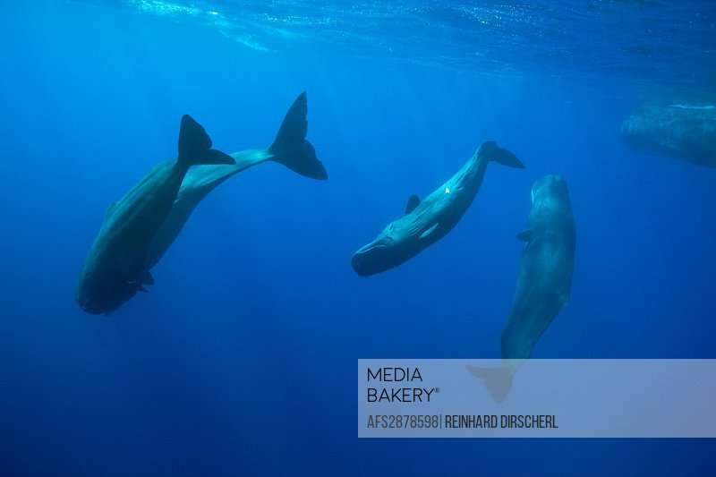 Social bahavior of Sperm Whale, Physeter macrocephalus, Caribbean Sea, Dominica