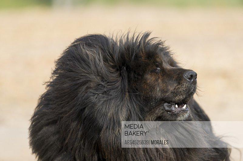 China, Inner Mongolia, Hebei Province, Zhangjiakou, Bashang Grassland, Tibetan Mastiff.