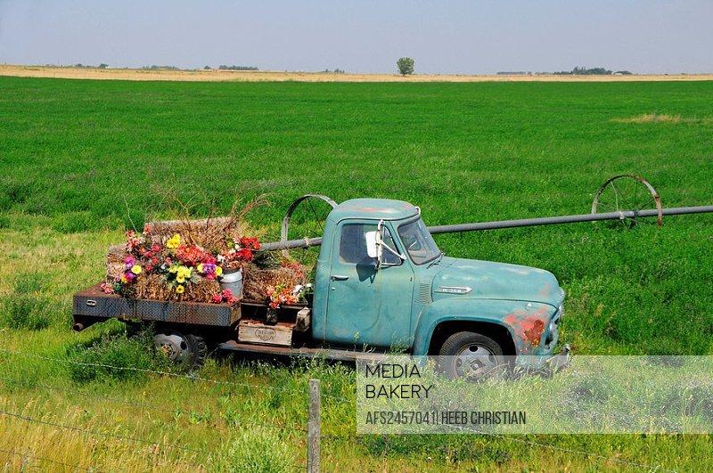 10856665, Canada, Flowers, Old Pickup Truck, near