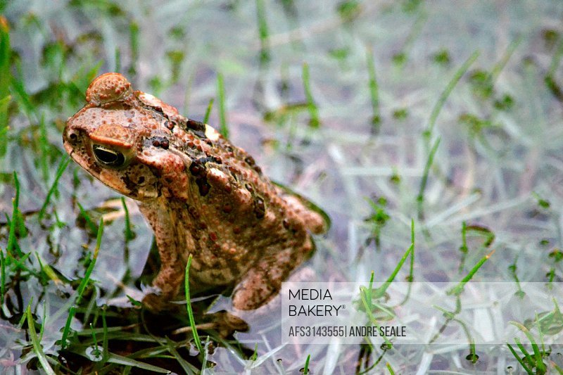 Cane toad in the ground, Bufo marinus, Viti Levu, Fiji.