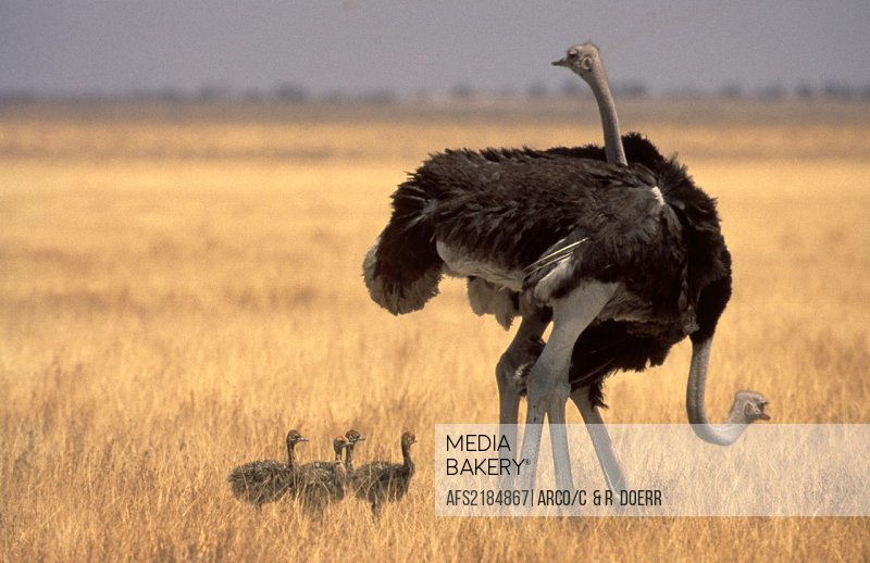 Ostrichs, pair, with, youngs, Etoscha, national, park, Namibia
