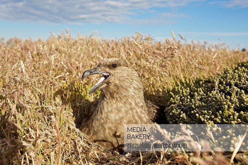 South America, Falkland Islands, Sea Lion Island  Skua on nest