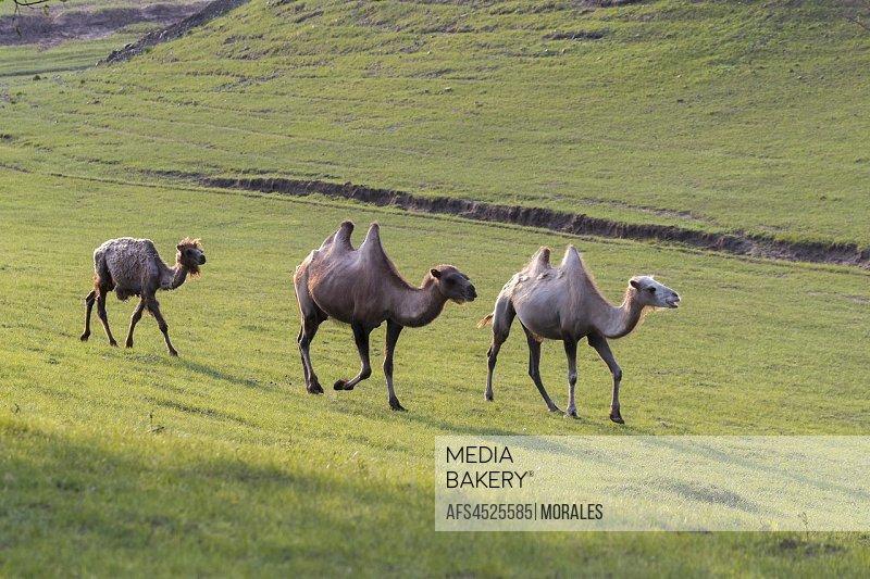 China, Inner Mongolia, Hebei Province, Zhangjiakou, Bashang Grassland, Bactrian camel (Camelus bactrianus)