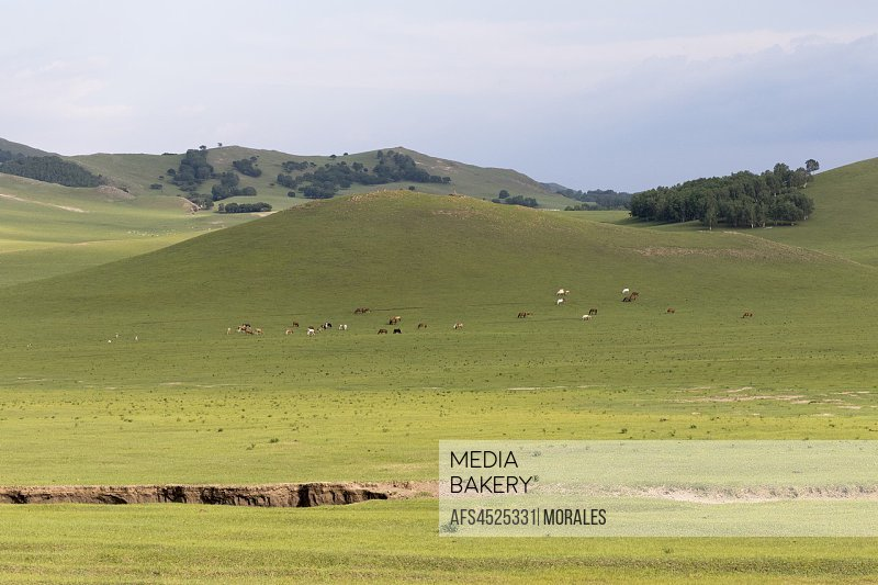 China, Inner Mongolia, Hebei Province, Zhangjiakou, Bashang Grassland, Colline landscape with domestic animals.