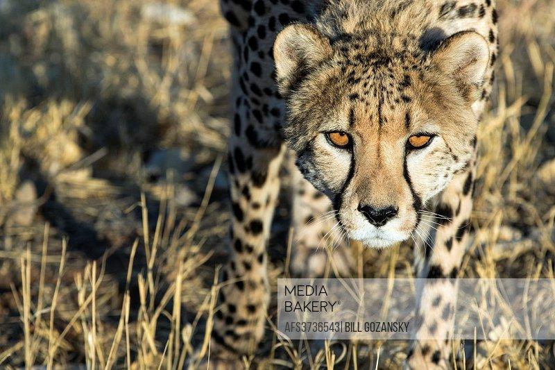 Cheetah (Acinonyx jubatus) [CAPTIVE] - Africat Rehabilitation Sanctuary, Okonjima, Namibia, Africa.