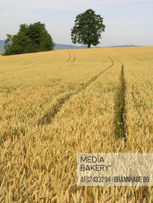 Switzerland, Europe, Forch, Canton Zurich, wheat fields, winter wheat, field, fields, landscape, cultivation, bio, bio