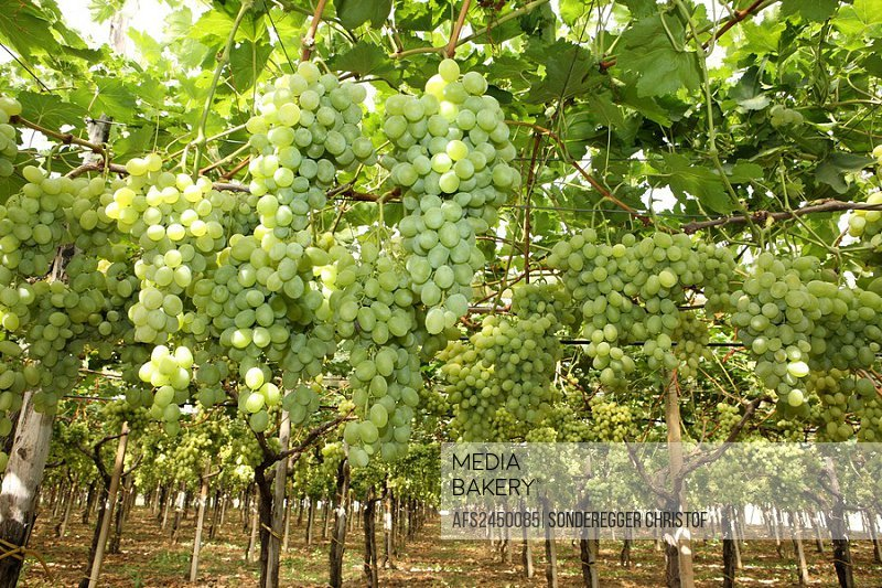Italy, Europe, Province of Bari, Apulia region, Southern Italy, Food, Grapes, Vineyard, Vine, Wine, Harvest, Farming,