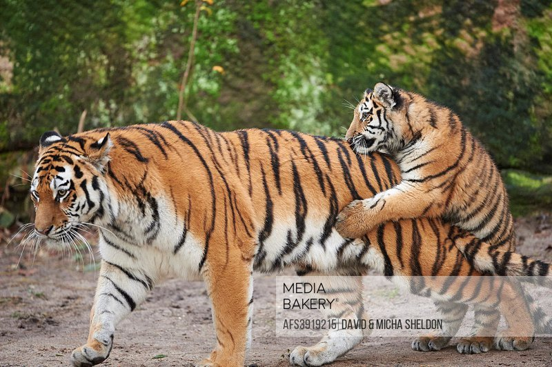Close-up of a Siberian tiger (Panthera tigris altaica) mother with her youngster in winter.