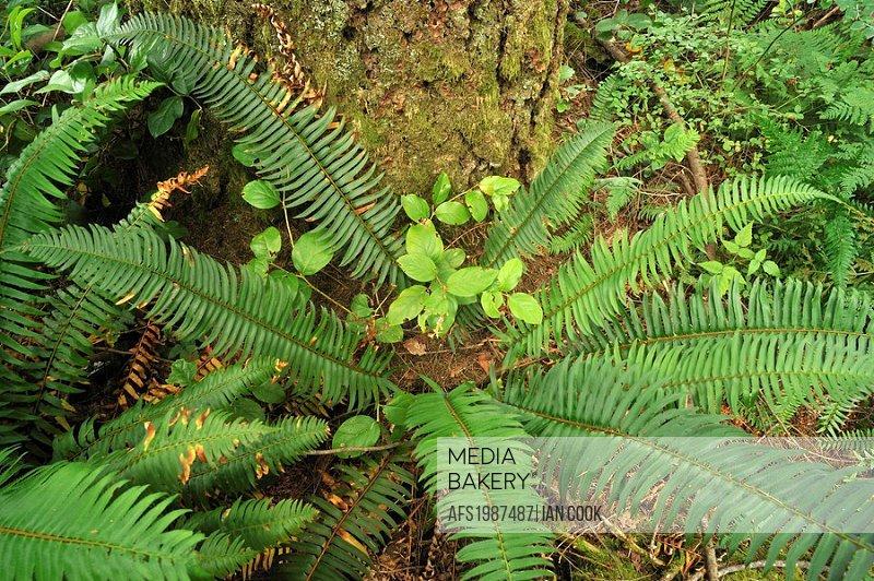 sword fern (Polystichum munitum), Minnekhada Regional Park, Coquitlam, British Columbia, Canada