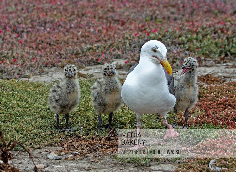 Mom teaching her chicks