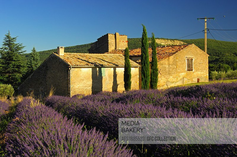Lavender cultivation in the Provence region, France