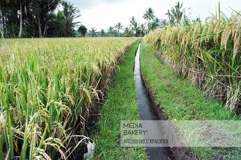 Water irrigation through rice fields in the Subaks of Tampak Siring