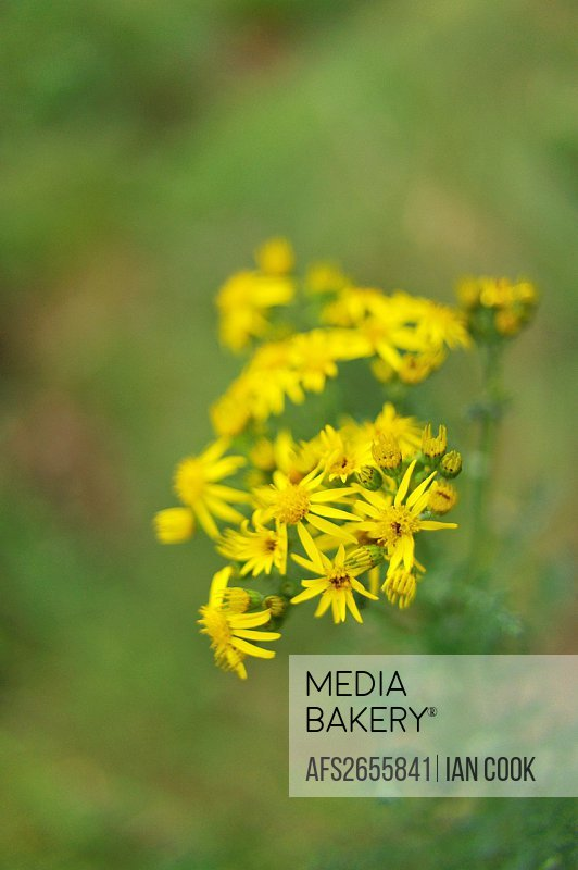 wooly sunflower, Eriophyllum lanatum, Newcastle Island, Nanaimo, British Columbia, Canada