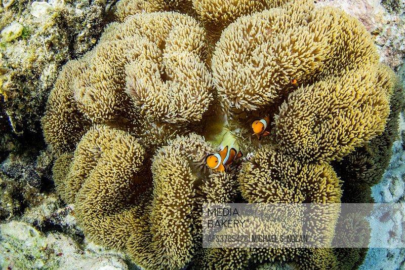 Underwater view of clownfish in anemone, Pulau Lintang Island, Anambas Archipelago, Indonesia.