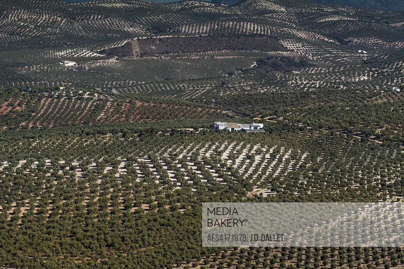 Spain, Andalusia, Malaga Province, olive trees plantations, by Antequera.