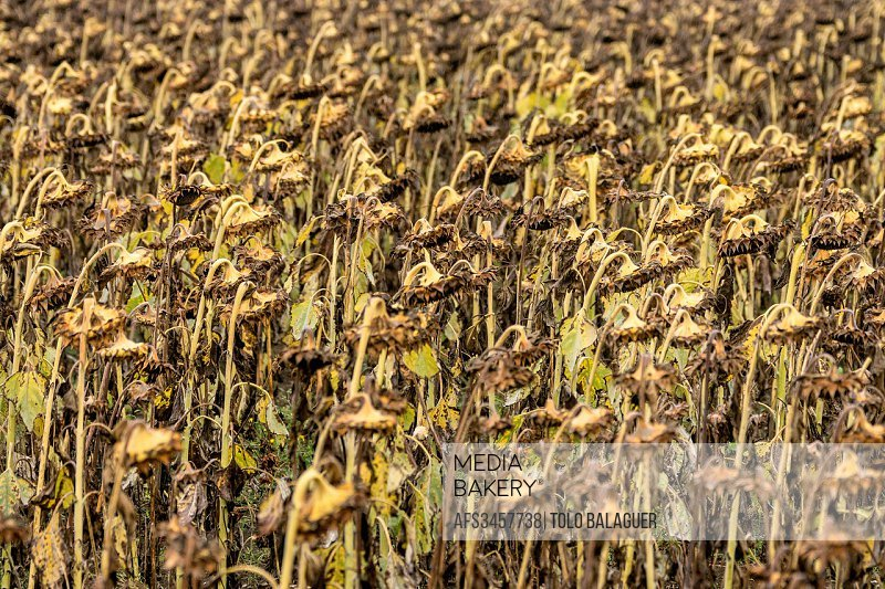 Dry sunflowers, Arrizala, Alava, Euzkadi, Spain.