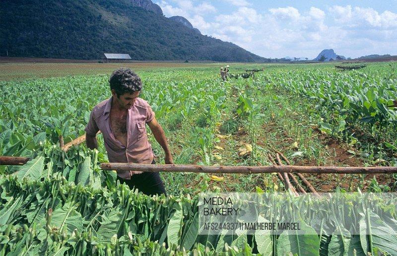 Cuba, tobacco harvest, Pinar del Rio, Valle de Vinales, America, Caribbean, tobacco, harvest, agriculture, harvesting,