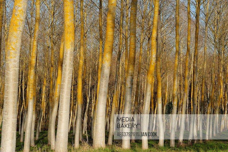 poplar, populus spp. , forest in winter, Lot-et-Garonne Department, Aquitaine, France.