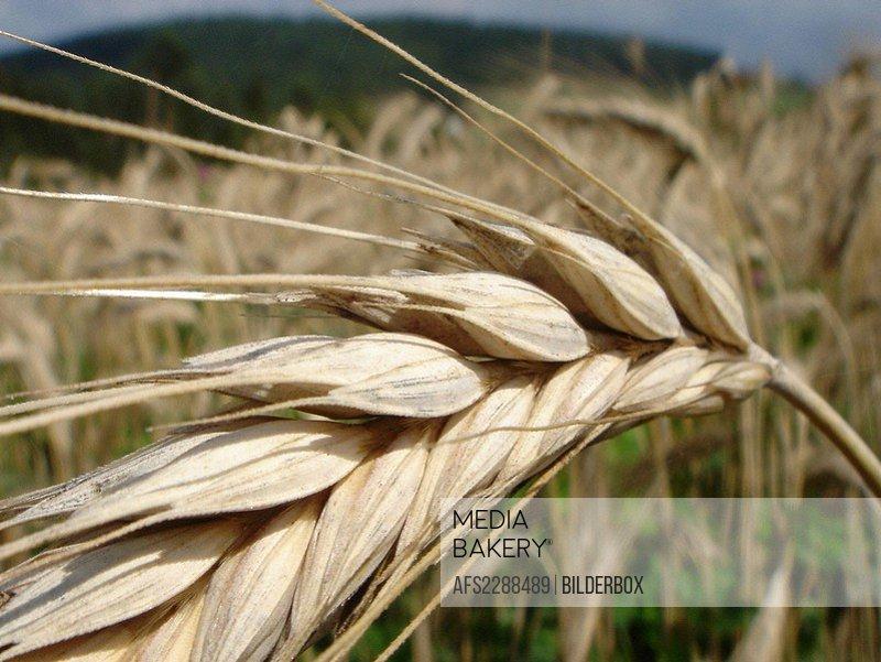 Grain _ barley