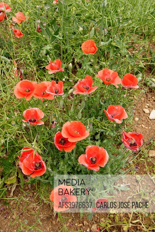 Poppy field (Papaver rhoeas), Spain