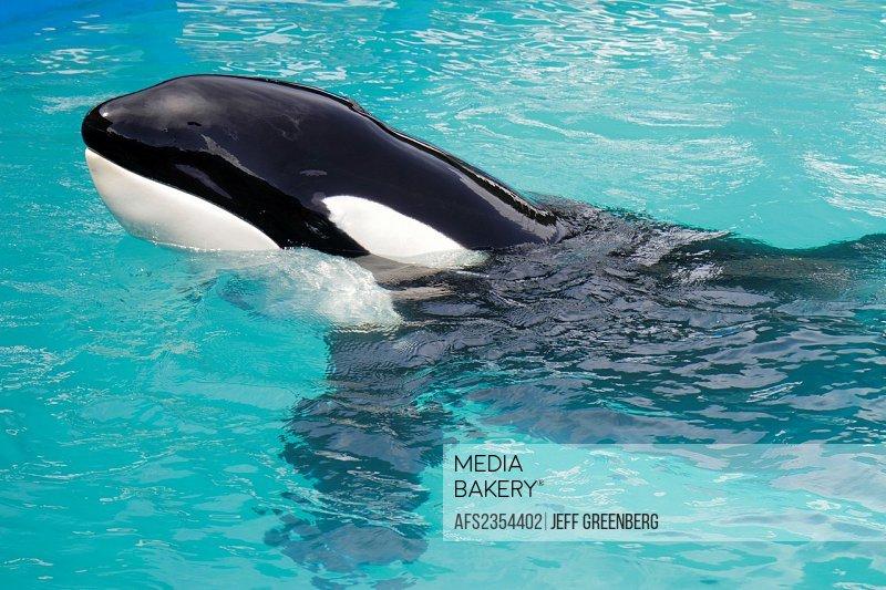 Florida, Miami, Key Biscayne, Miami Seaquarium, Lolita, killer whale, orca, 40th anniversary performance,