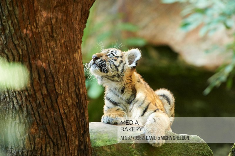 Close-up of a Siberian tiger or Amur tiger (Panthera tigris altaica) youngster in late summer.