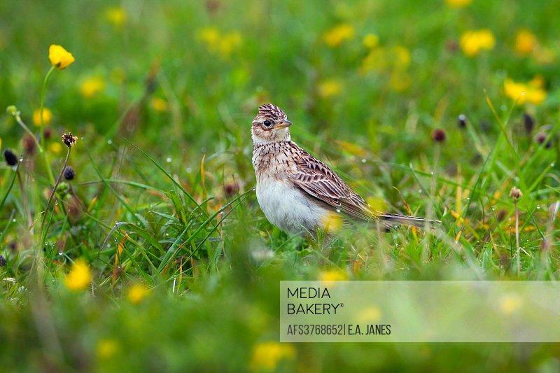 Skylark Alauda arvensis feeding in machair grassland North Uist Hebrides.