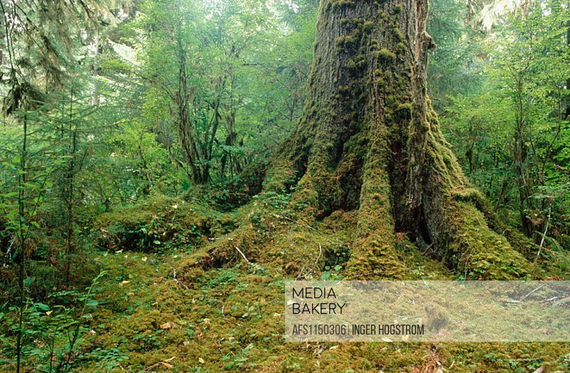 Moss-covered Douglas fir. Hoh Rain Forest. Olympic National Park. Washington. USA