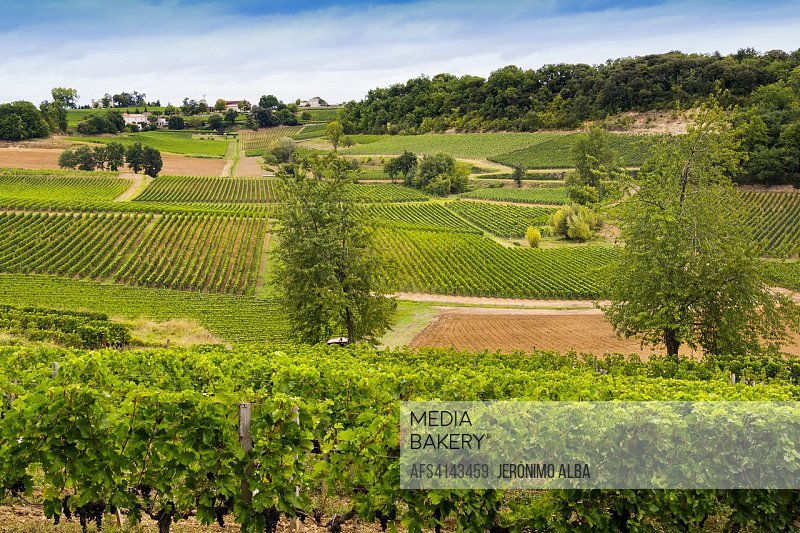 Vineyards. Bordeaux wine region. Aquitaine Region, Gironde Department. France Europe.