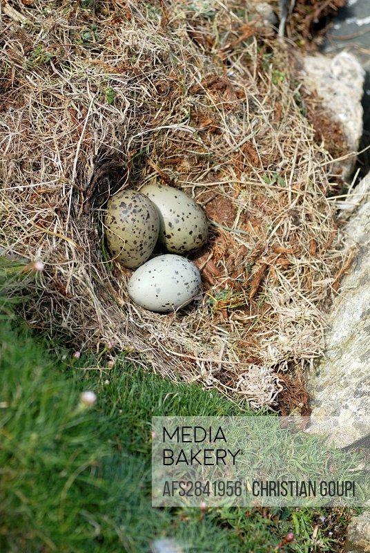 Mediabakery - Photo by Age Fotostock - seagull´s eggs in