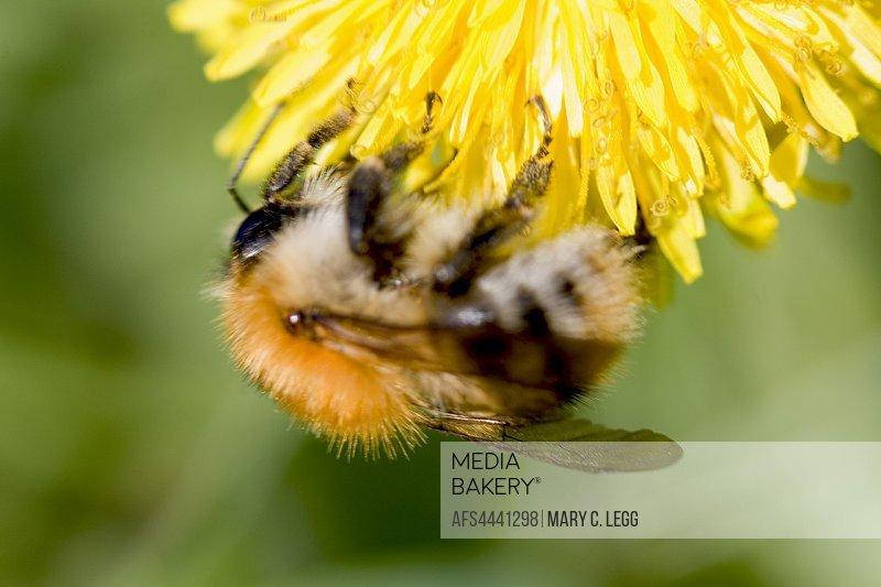 Shetland Bumblebee, Bombus muscorum, Large Carder Bee.