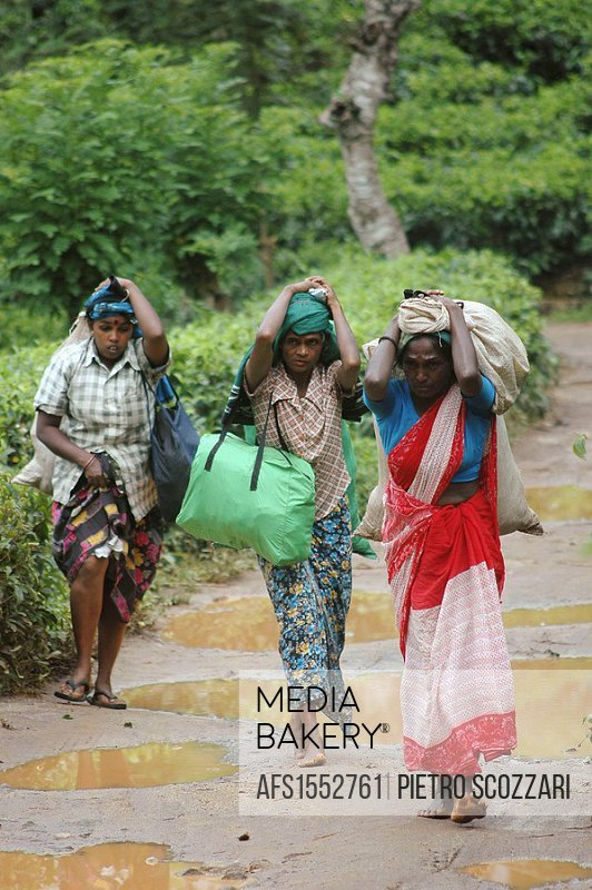 Kandy Sri Lanka: women working in the tea plantation, carrying bags full of leaves