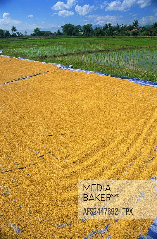Asia, Thailand, Northern Thailand, Asia, Chiang Mai, Rice Paddies, Rice Paddy, Rice Fields, Farming, Rice Farming, Ric