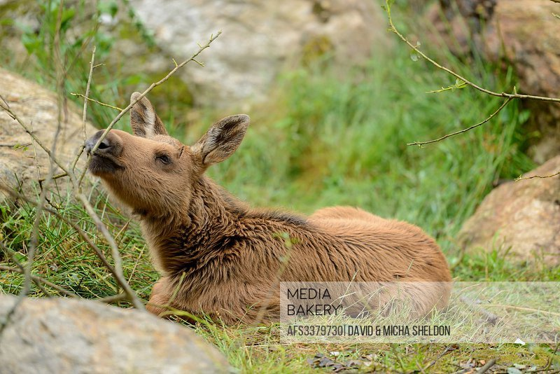 Eurasian elk (Alces alces) youngster in a forest in early summer.