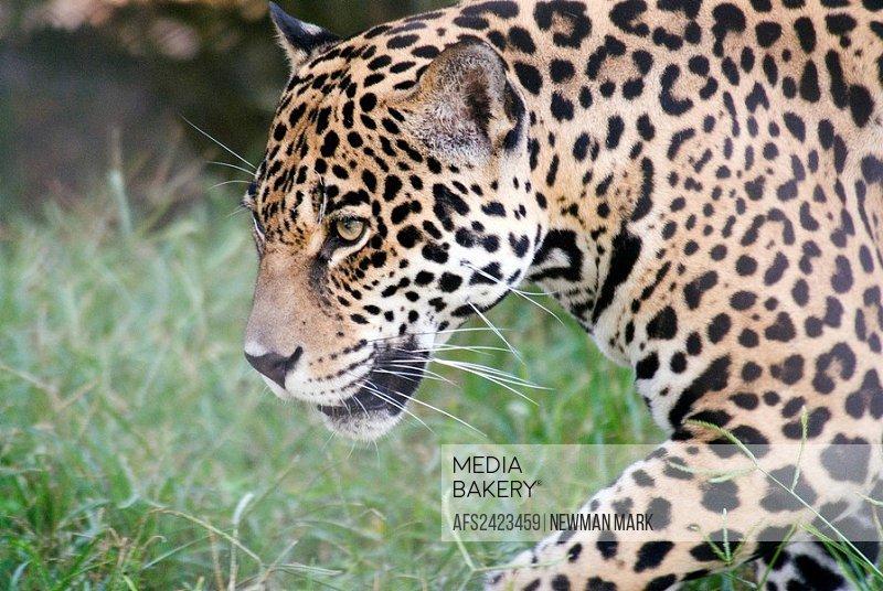 Jaguar, Panthera onca, cat, big cat