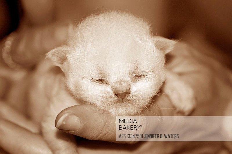 Himalayan kitten asleep in a woman´s hands.  Sepia tone. June 2005.