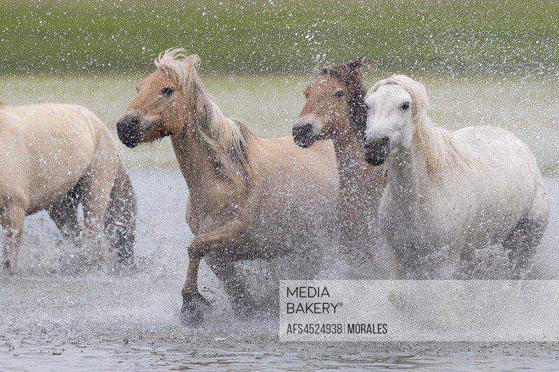 China, Inner Mongolia, Hebei Province, Zhangjiakou, Bashang Grassland, horses running in a group in the water.