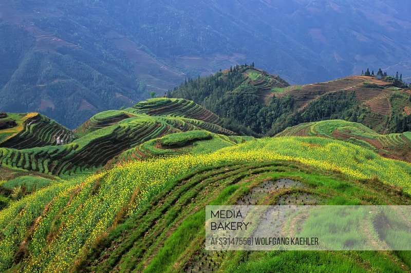 CHINA, GUANGXI PROVINCE, NEAR GUILIN, LONGJI AREA, TERRACED FIELDS, CANOLA FLOWERS (RAPE SEEDS).