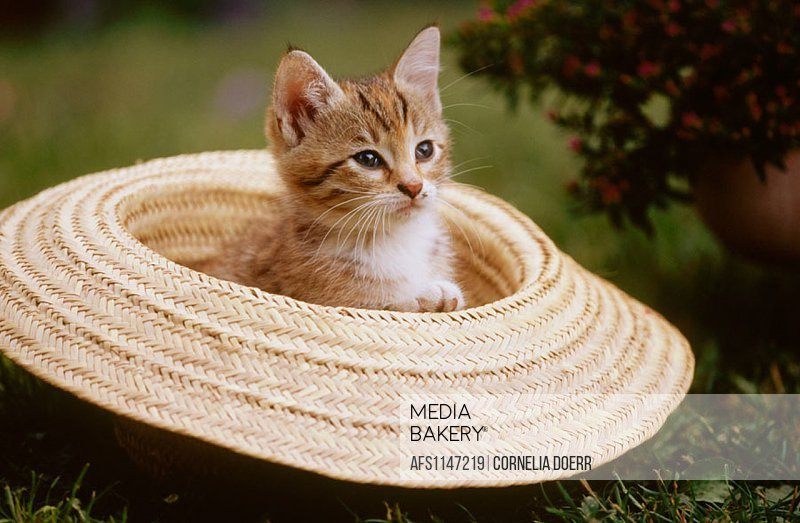 Kitten in straw hat