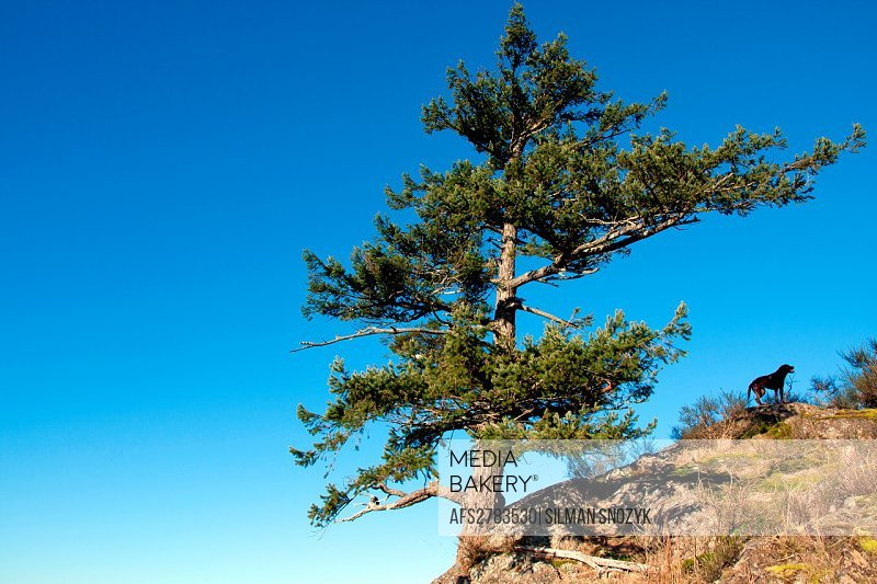 Chocolate Labrador Retriever dog enjoys the shade of a cliff-side Amabalis Fir tree, Mt. Finlayson, Langford, BC, Canada
