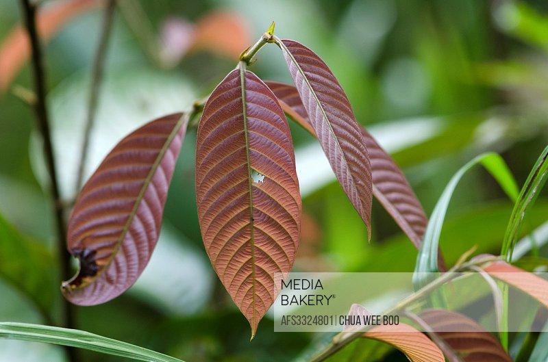 Young leaves. Image taken at Kampung Satau, Sarawak, Malaysia.