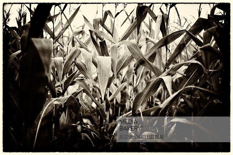 maize plantation, Spain