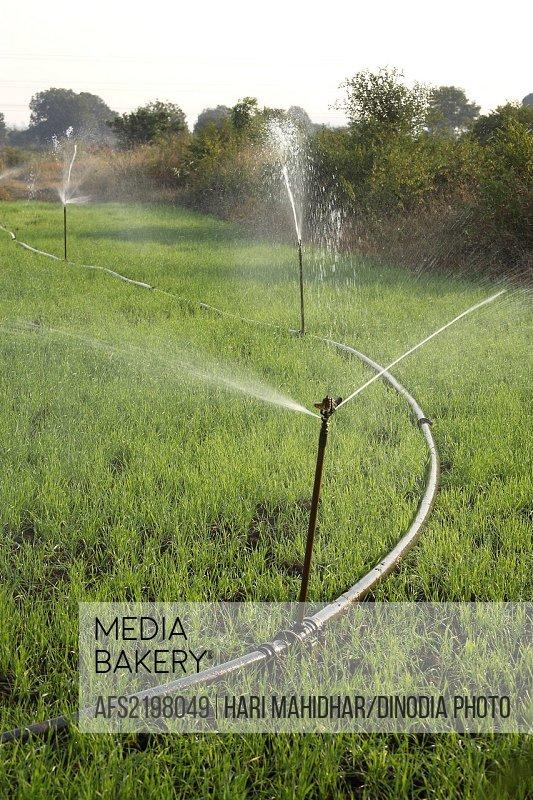 Sprinklers are used for irrigating the wheat crop near Jabalpur , Madhya Pradesh , India