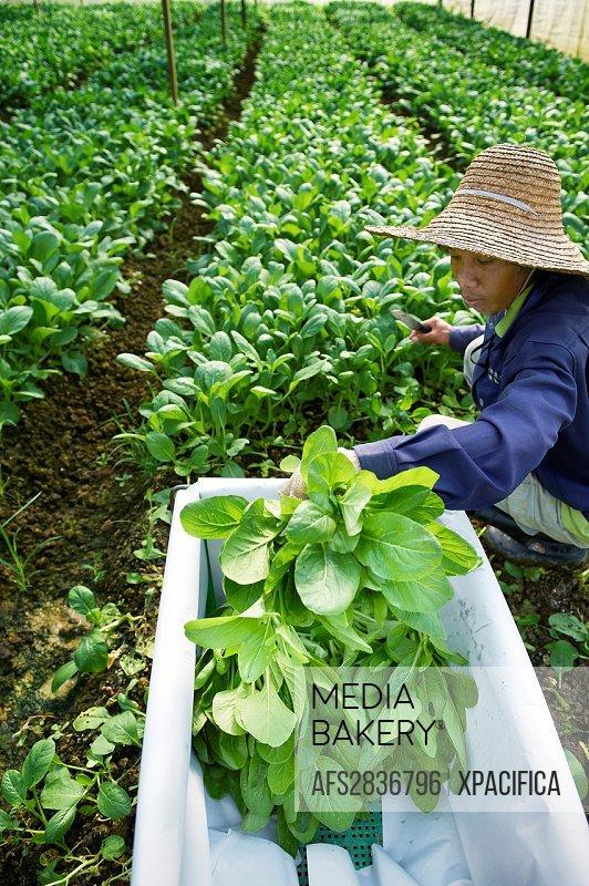 Farmers harvesting rich vegetation in Johor, Malaysia