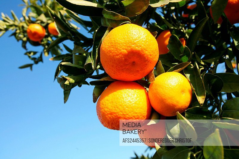 Oranges, Tangerines, Spain, Europe, Valencia, Food, Citrus fruits, Fruit, Leaves, Detail, Branch, Branches, Tree, Tree